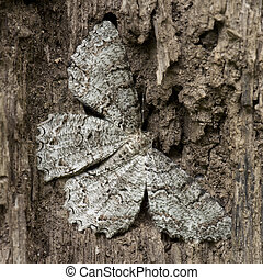 Mimicry  - A close up on a brown moth mimicking dead tree