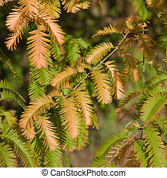 autumn colors in Metasequoia glyptostroboides Dawn Redwood;...