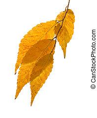 Zelkova serrata (Keyaki) autumn foliage, small branch isolated on white