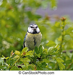 Blue Tit with Food in Rain