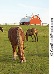 Horses and a barn vertical - Belgian draft horses graze on a...