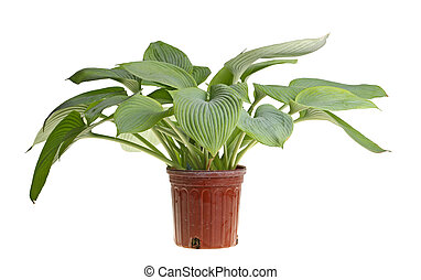 Isolated plant of a blue hosta - Large plant of blue-leaved...