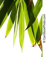 bambus, laub