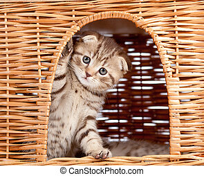 funny little Scottish fold kitten sitting inside wicker cat...