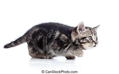 black Scottish kitten slinks isolated on white background