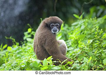 長臂猿, 猴子
