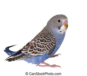 budgerigar isolated on white background