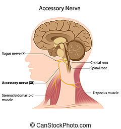 Accessory nerve, eps8 - the 11th cranial nerve responsible...