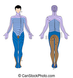 Dermatome, eps10 - Diagram of areas of the skin supplied by...