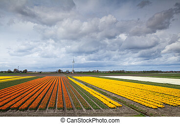 fields with prange and yellow tulips - big fields with...