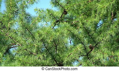 Larch tree weaving by the wind - Close view of larch tree...