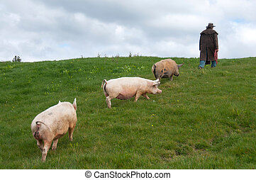 Farmer leading pigs through paddock - farmer walking with...