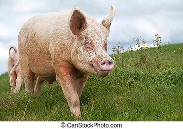 Boar pig