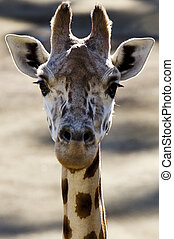 Wildlife and Animals - Giraffe - Giraffe Head.