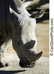 Wildlife and Animals - Rhinoceros - Rhinoceros portrait.