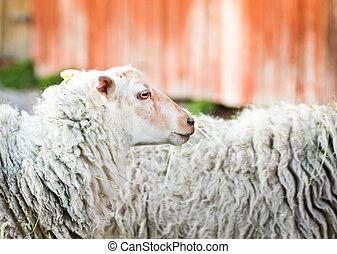 Waiting sheep