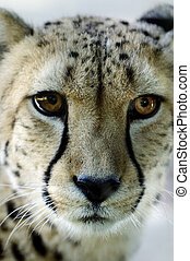 Wildlife and Animals - Cheetah - Wild african cheetah...