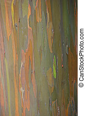 Eucalyptus Tree - Black Peppermint Eucalyptus Tree Haleakala...