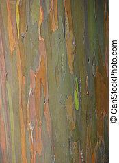 Eucalyptus Tree - Black Peppermint Eucalyptus Tree Haleakala...