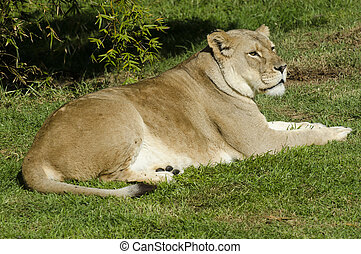 Wildlife and Animals - Lions - Lioness on a green grass....
