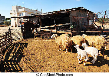 Bedouin Village - Sheep in Lakyia Bedouin village in...