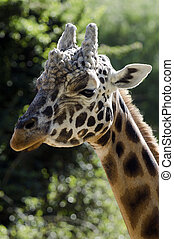 tiere, Tierwelt,  Giraffe,  -