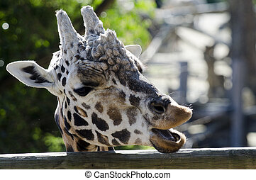 Wildlife and Animals - Giraffe - Male Giraffe Head