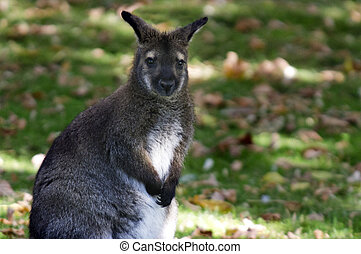 animais, fauna,  -,  wallaby