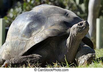 Wildlife and Animals - Galapagos Tortoises - Galapagos...