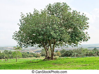 Tree at Ramat hanadiv, Israel