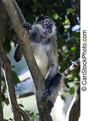 Wildlife and Animals - Spider Monkey - Spider Monkey.