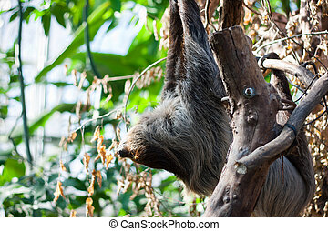 Linnaeus's two-toed sloth (Choloepus didactylus) on a tree