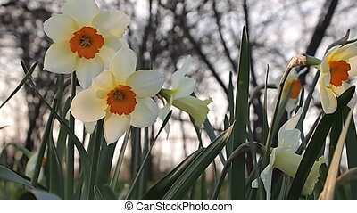 spring landscape - spring, daffodils on the background of...