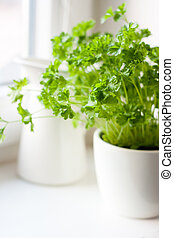 Green parsley (Petroselinum hortense) in a pot on a kitchen...