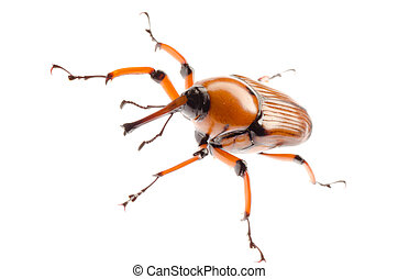 brown palm weevil beetle - female brown palm weevil snout...