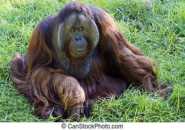 Wildlife and Animals - Orangutan - A big male orangutan...