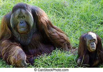 Wildlife and Animals - Orangutan - A big male and female...