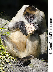 Wildlife and Animals - Spider Monkey - Spider Monkey eats.