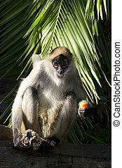 Wildlife and Animals - Spider Monkey - Spider Monkey looks.