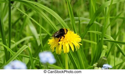 bumblebee on dandelion - buff-tailed bumblebee on dandelion