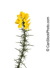 Flowering gorse - Yellow gorse flowers on a thorny stem...