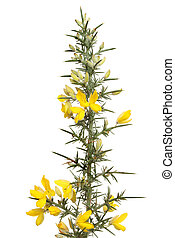 Flowering gorse with yellow flowers and thorny foliage...