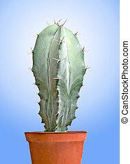Cactus in a pot