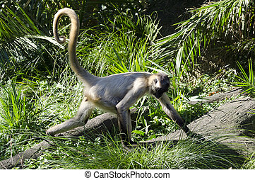 Wildlife and Animals - Spider Monkey - Spider Monkey runs...