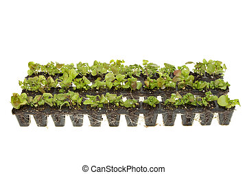 Plug plant strips - Strips of rooted plant seedlings...