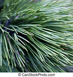 Close up of coniferous needles with a blured background