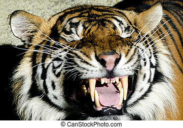Wildlife and Animals - Tiger - A roaring Tiger.