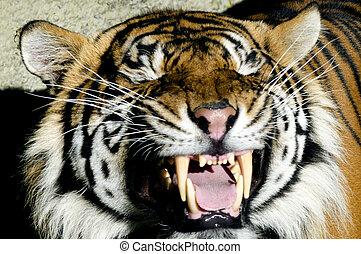 tiger, állatok, kicsapongó élet,  -