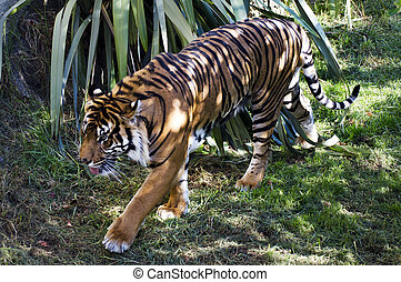 Wildlife and Animals - Tiger - Tiger walks. Photo by Rafael...