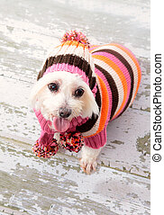 Small terrier wearing winter fashion - A small maltese...